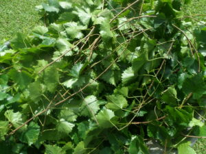 Scuppernong Vines